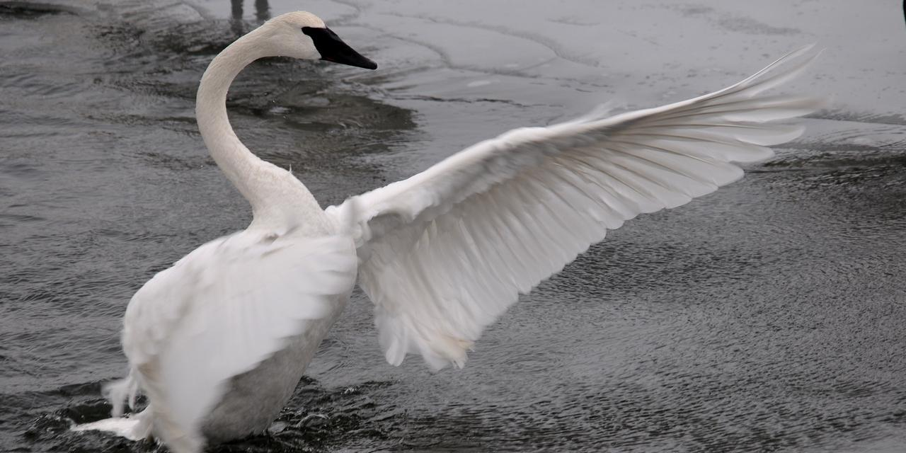 Trumpeter Swan stretches it's wings