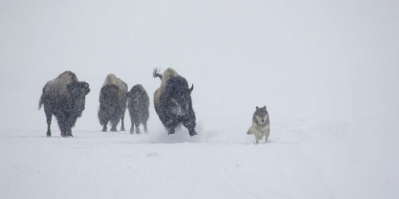 A Bull Bison chases a lone wolf in Hayden Valley