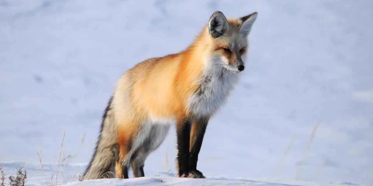 A Red Fox Hunting for Mice Under the Snow